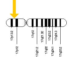 CTNS Gene location on Chromosome 17